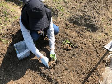 ヤーコン植え、有機米もみまき2