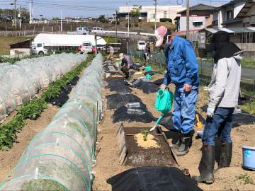 ヤーコン植え、有機米もみまき4