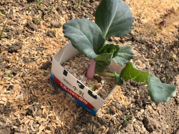 ヤーコン植え、有機米もみまき5