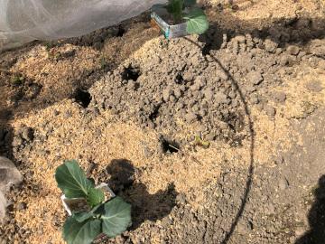 ヤーコン植え、有機米もみまき6