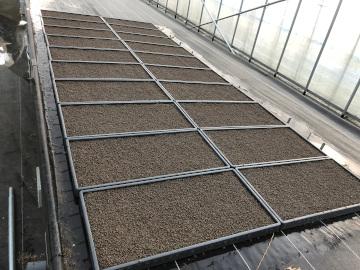 ヤーコン植え、有機米もみまき10