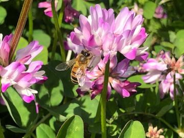 レンゲと蜜蜂6
