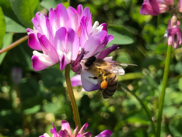 レンゲと蜜蜂10