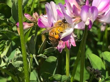 レンゲと蜜蜂11