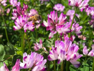 レンゲと蜜蜂12