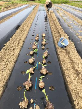 里芋親芋植え