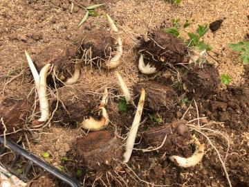 里芋親芋植え2