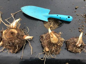 里芋親芋植え7