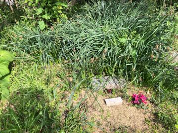 赤芽里芋植え3