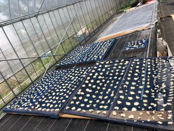 赤芽里芋植え6