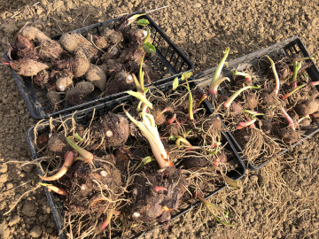 赤芽里芋植え7