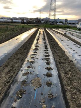 赤芽里芋植え9