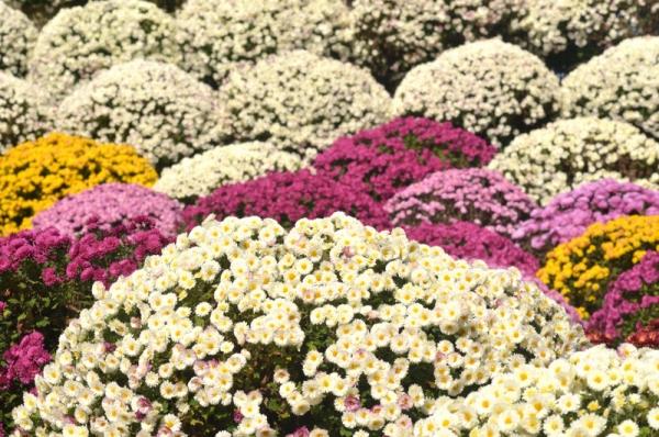 2020-11-15ざる菊園 8