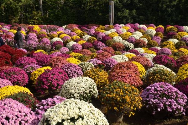 2020-11-15ざる菊園 11
