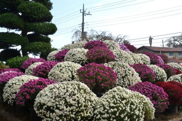 2020-11-15ざる菊園 19