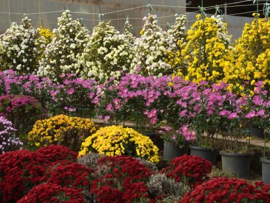 2020-11-15ざる菊園 25