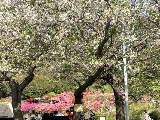 2021-4-2花の木公園 12