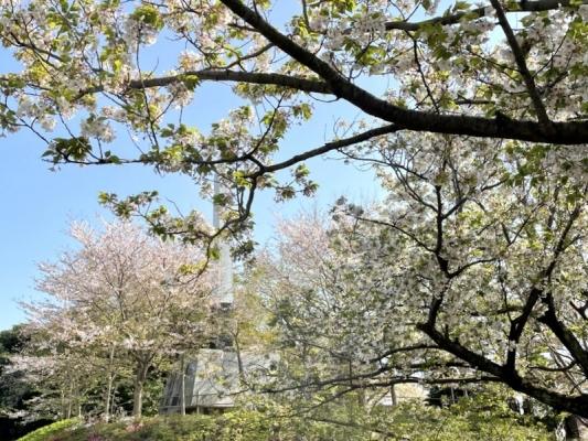 2021-4-2花の木公園 9