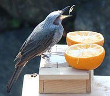 200px-Microscelis_amaurotis_eating_orange_20210319124613361.jpg