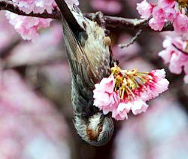 250px-Hypsipetes_amaurotis_(eating_Sakura).jpg