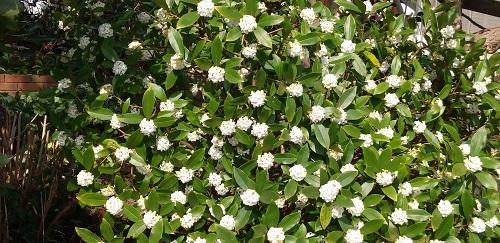 DSC_0253沈丁花