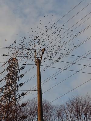 電線のムクドリの群れ2101