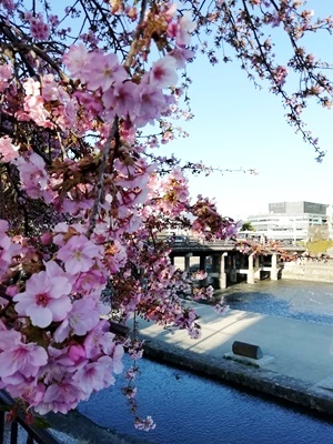 三条大橋近くの河津桜2102