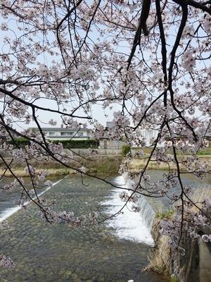 高野川の桜2103