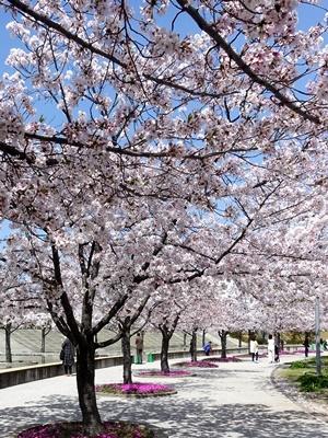 パナソニックさくら広場の桜満開2104