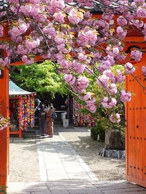 八坂庚申堂と八重桜2104