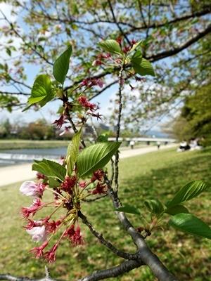 鴨川葉桜2104