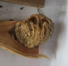 オオツチハンミョウ・5