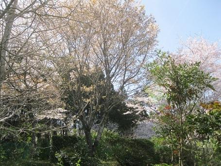 さくら桜・2