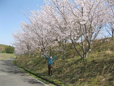 さくら桜・3