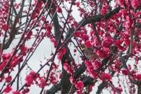 BL210215大阪城梅林3IMG_2144