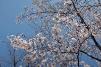 BL210323大川桜9IMG_3026