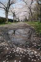 BL210329大川の桜2IMG_3261