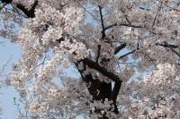 BL210329大川の桜5IMG_3272