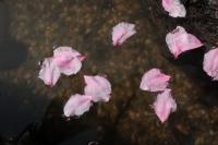 BL210329大川の桜3IMG_3281