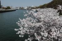 BL210329大川の桜6IMG_3254