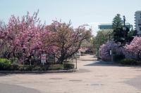 BL210405大川桜2IMG_3403