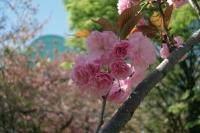 BL210405大川桜3IMG_3396