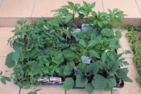 BL210503夏野菜の苗2IMG_4197