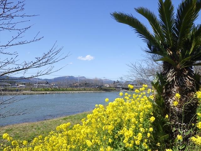 今川の菜の花