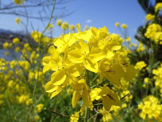 今川の菜の花-2