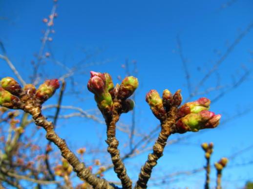 202  桜の蕾(1)