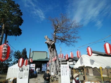 米島香取神社ご神木