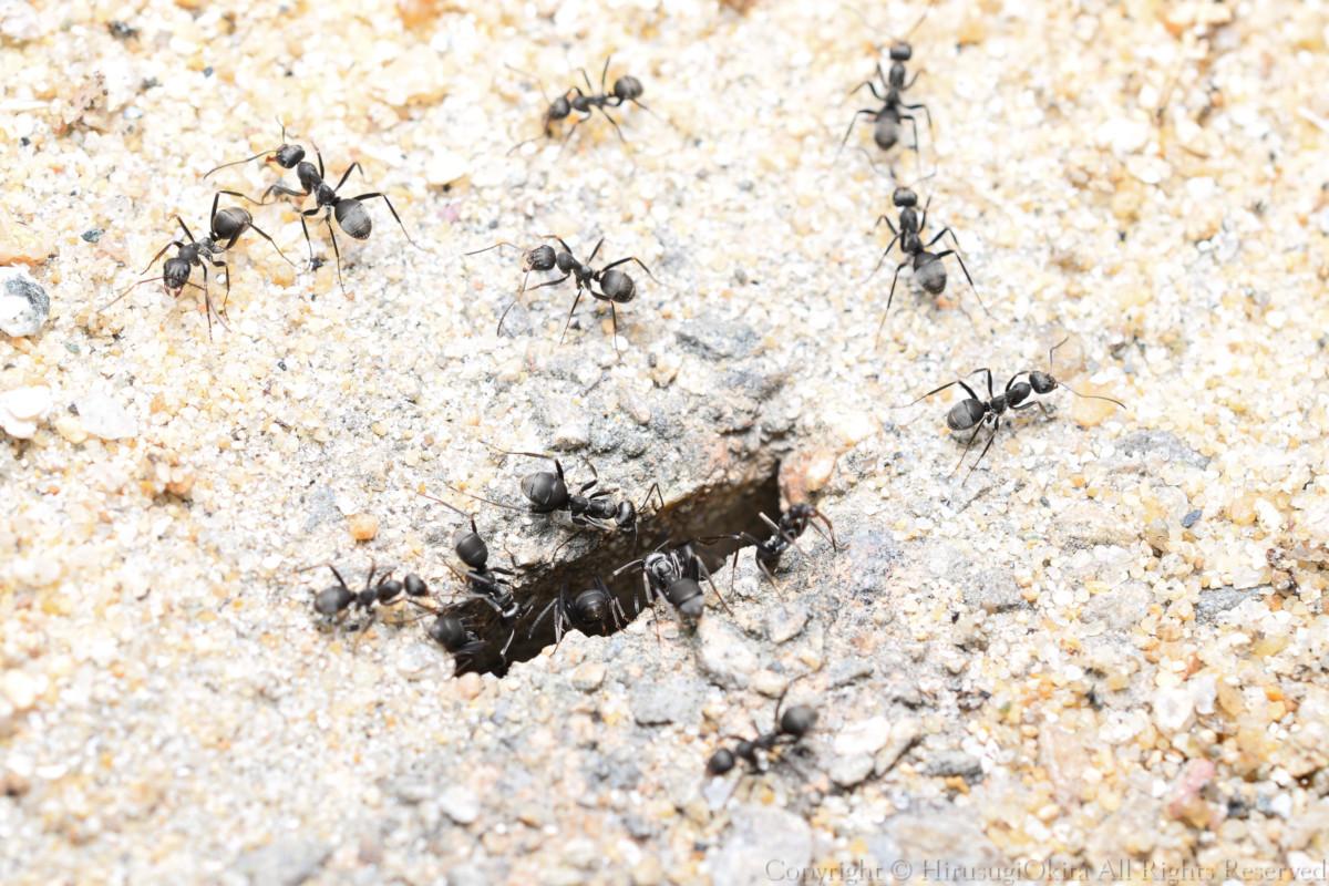 200815[アリ]アリのなかま