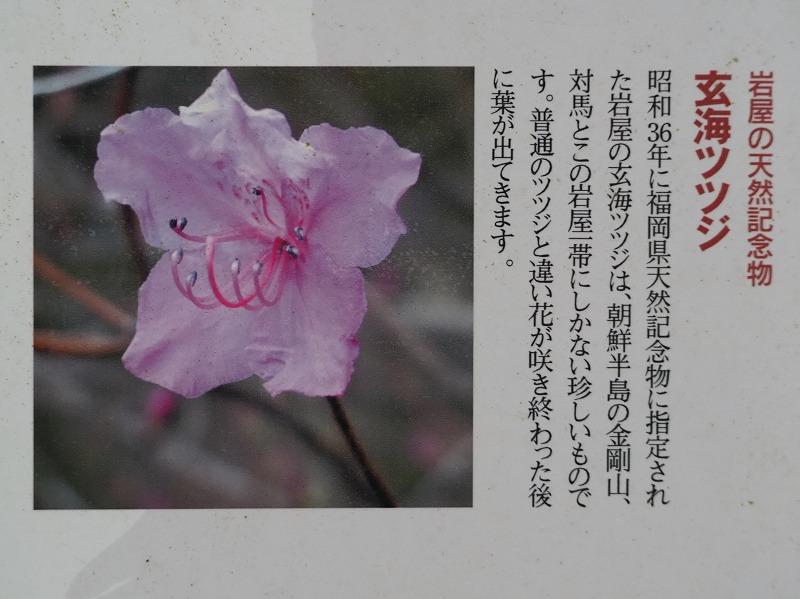 玄海ツツジ (1)