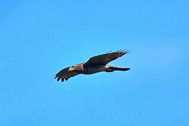 秋の渡り サシバ 成鳥